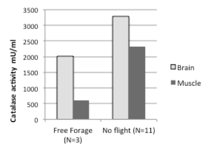 Figure 1. Brain and muscle tissues of free-foraging bumblebees show lower catalase activity than tissue from bumblebees with no flight experience, suggesting that the metabolic stress of foraging reduces their oxidative stress resilience.