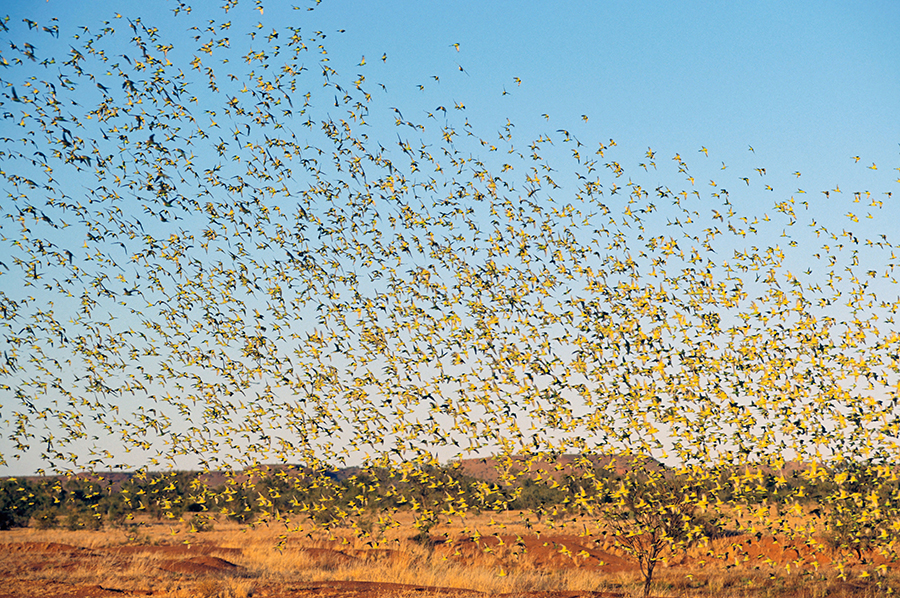 Bryce Maxell, Budgies