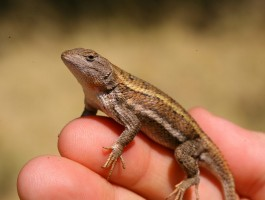 "The Striped Plateau Lizard (Sceloporus virgatus) of Southern Arizona.  We are interested in learning if resident bacteria associated with the females provide ""protective bacteria"" to the surfaces of the eggs, protecting them against disease (collaboration with Dr. Stacey Weiss)."