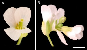 Floral reversion in Arabidopsis suecica. Normal flower (left), flower emerging out of a developed flower (right). (See: Asbe et al., 2015 PLoS ONE 10(5): e0127897)