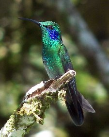 "3rd Place - Most Artistic - Michelle Levesque ""Green Violetear in Contemplation"" Monteverde, Costa Rica"