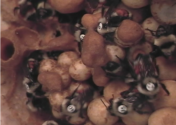 Workers in a bumblebee colony. We have tagged the back of each worker with a number tag so we can track behaviors such as foraging trips and brood care.